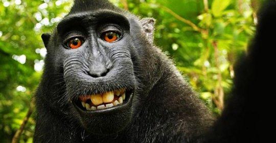 """Esta mona macaco negro, de la selva de Sulawesi (Indonesia), ganó fama mundial por ser el primer animal en registrarse a si mismo. Fue hecho con la cámara de David Slater, quien se la prestó y luego accidentalmente se fotografió, no una, sino varias veces.  Su historia paso al Daily Mail y desde ahí Wikipedia la subió a su sitio, generando una batalla legal entre Slater y Wikimedia -dueño de la enciclopedia libre-. La Oficina de Copyright de Estados Unidos falló a favor de Wikimedia, puesto que declaró que """"los trabajos producidos por la naturaleza, animales o plantas"""" no pueden tener copyright."""