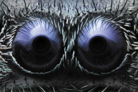 Esta imagen pareciera ser falsa, pero es completamente real. No es un monstruo, sino los ojos de una araña saltadora Phidippus. Noah Fram-Schwartz es el autor de ella, para un concurso de Nikon sobre el diminuto mundo que nos rodea. Y claro, ganó.