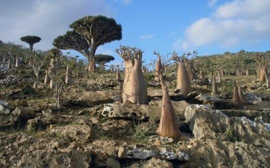 Archipiélago de Socotra, Yemen. Entre su rica biodiversidad destaca el árbol de la sangre de dragón